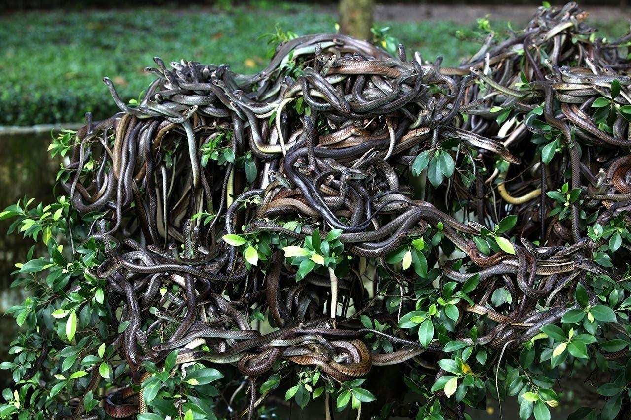 عدد الأفاعي في جزيرة الأفاعي