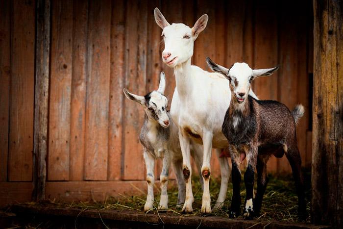 قصة الماعز الثلاثة حقيقية